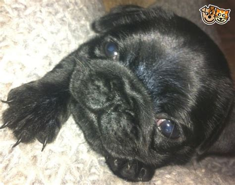 black pug dogs for sale black pug puppies vet checked family home for sale barnet hertfordshire pets4homes