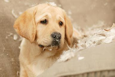 golden retriever separation anxiety how to prevent destructive puppy behavior and chewing