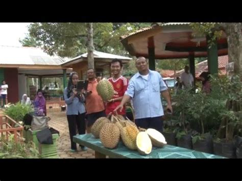 Bibit Durian Bawor Cangkok terbongkar rahasia besar bibit durian bawor doovi