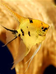 Gold Marble Angelfish (Freshwater Angelfish for sale)