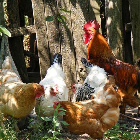 Backyard Flock by Backyard Flock Belton Feed Supply And Temple Feed Supply Belton Tx Temple Tx