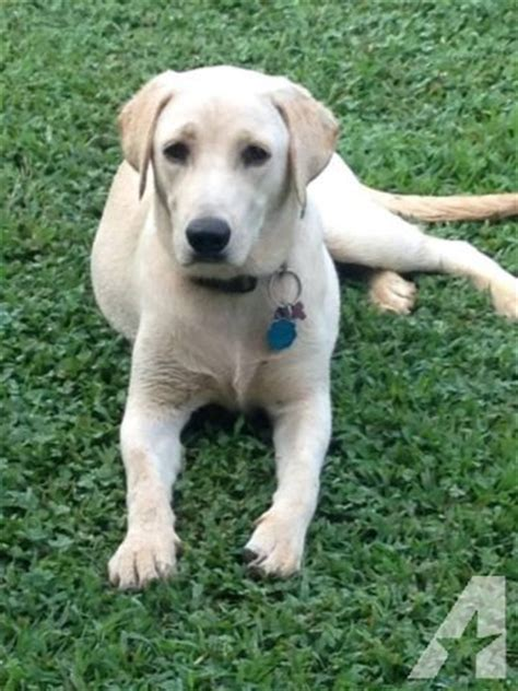 lab puppies for sale in nj bred lab puppies for sale in aura new jersey classified americanlisted