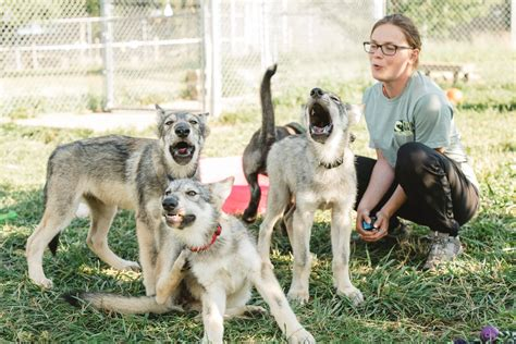 buy wolf puppies wolf puppies are adorable then comes the call of the community the newstalkers
