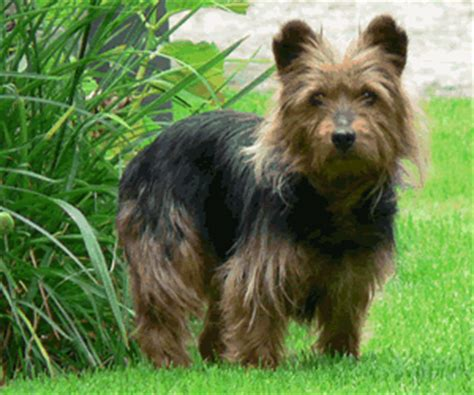 easy to house train small dog breeds australian terrier