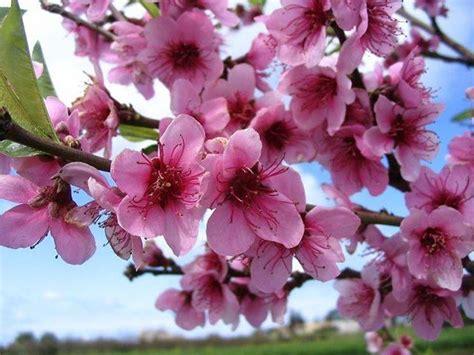 alberi di pesco in fiore fiori di pesco piante da giardino la bellezza dei