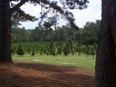 mill hollow christmas tree farm