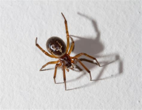 Garden Spider Vs Tarantula What Is A False Widow Spider Do We Them In The Uk
