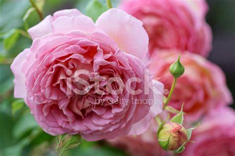 fiori in inglese fiori rosa inglese fotografie stock freeimages