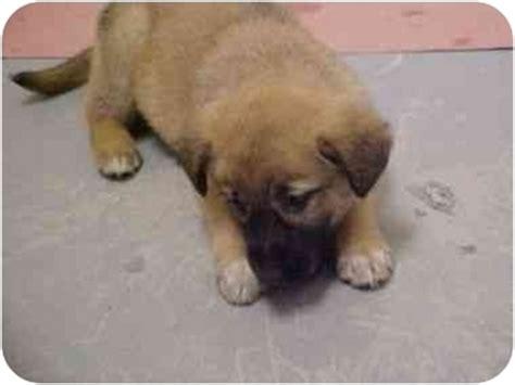 puppies for adoption spokane wa pitbull puppies for sale spokane