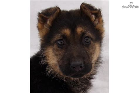 king german shepherd puppies for sale meet king a german shepherd puppy for sale for 650 king akc