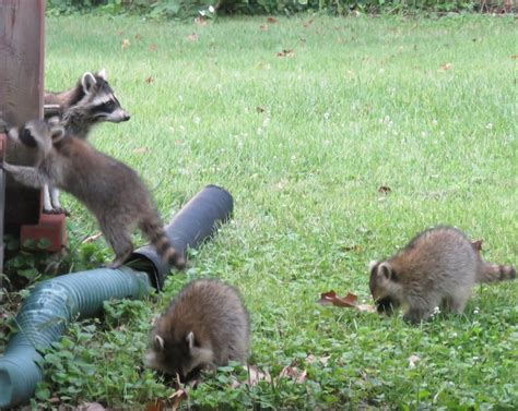 Raccoons In Backyard by Backyard Wildlife Family Of Raccoons 187 Curious Cat