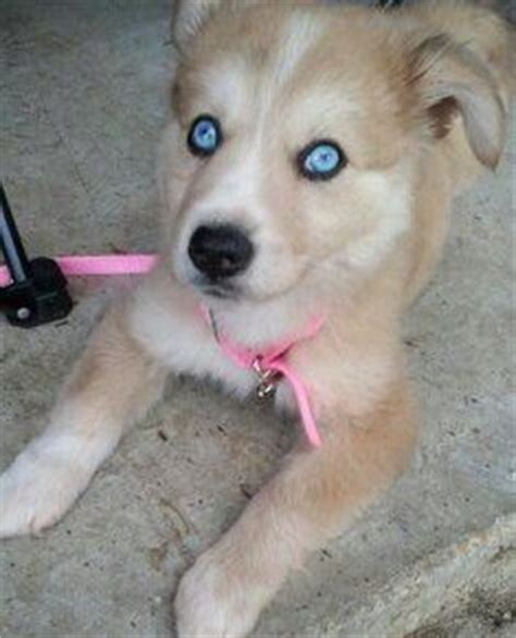 husky lab mix puppies for sale near me 25 best ideas about husky lab mixes on labrador husky labrador mix and