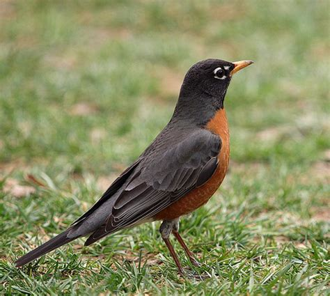 state bird of connecticut american robin