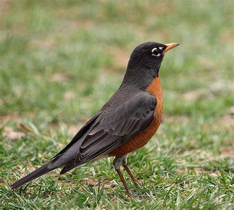 connecticut state bird american robin