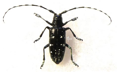 asian beetle asian beetle and