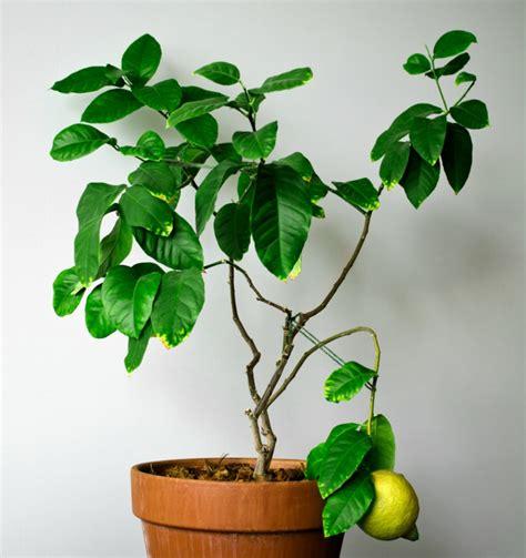 cura dei limoni in vaso cura dei limoni in vaso trendy pianta di limone malata