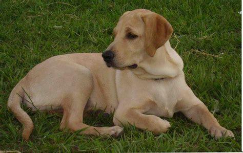 yellow lab fotos de perros labrador