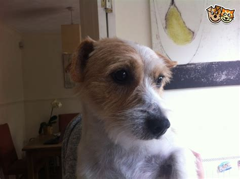 haircut ideas for long hair jack russell dogs long haired male jack russell stud only warrington