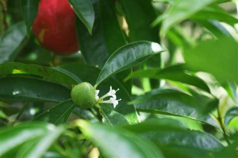 Teh Mhs Mahkota Dewa Rosella mahkota dewa herb spices