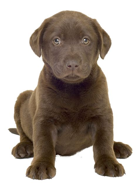 puppy png png image