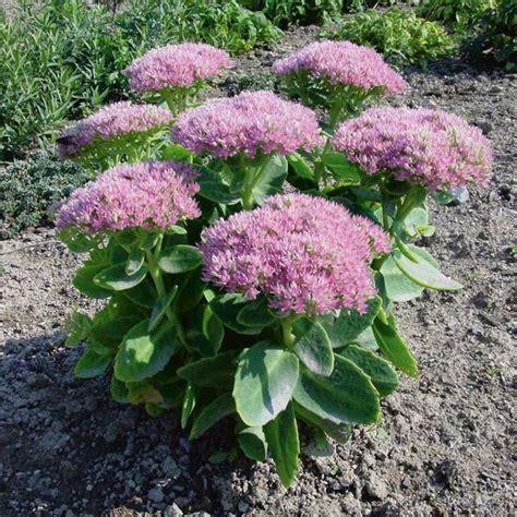 showy stonecrop pink bomb sedum spectabile my garden