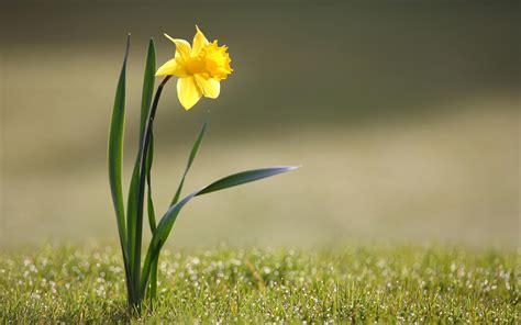 wallpaper grass flower wallpaper flower grass drop dew narcissus desktop