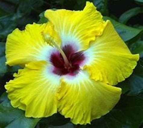 1000 Images About Hibiscus On Hibiscus Plant