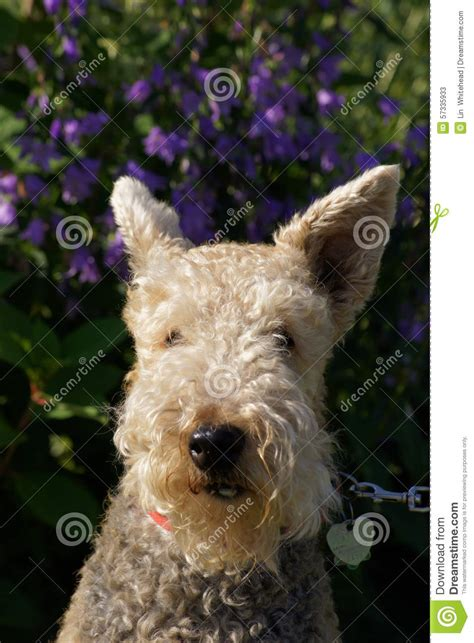 Mixer Bell Up terrier poodle and flowers stock photo image 57335933