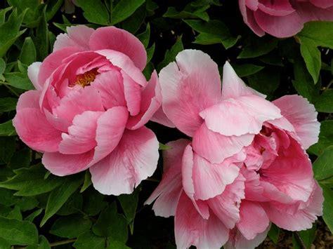 peonie fiore peonie coltivazione piante per giardino coltivare peonia