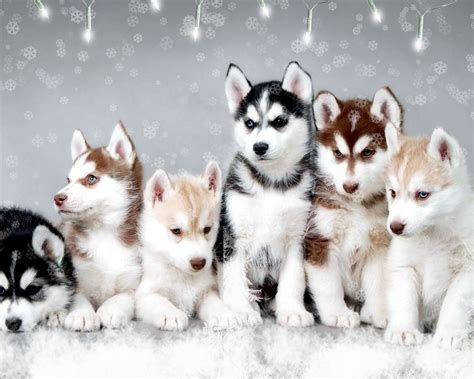 baby husky puppies baby husky wallpaper