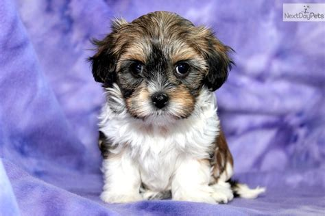 havanese puppies for sale price havanese puppy for sale near lancaster pennsylvania 40987743 d651
