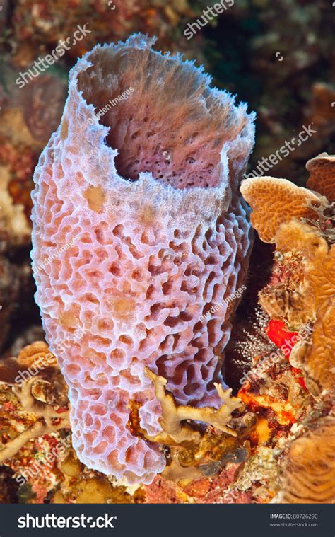 Vase Sponge by Azure Vase Sponge Callyspongia Plicifera A Pink Purple