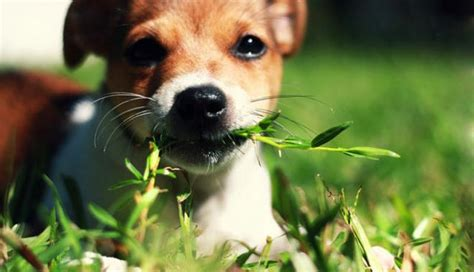 when dogs eat grass is my pet attack