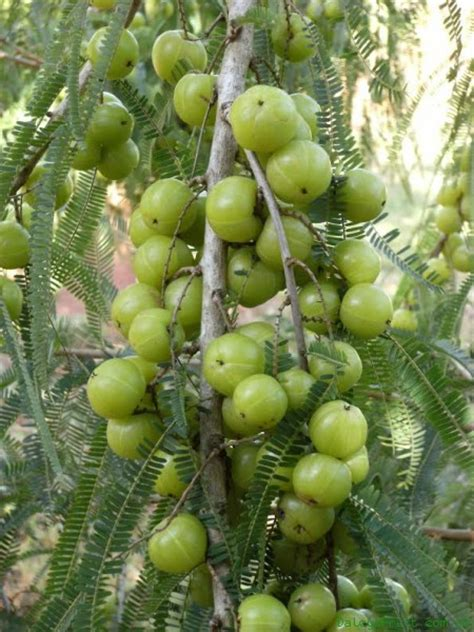 fruit trees names amla phyllanthus emblica