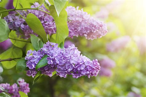 lilac flower meaning lilac flower meaning flower meaning