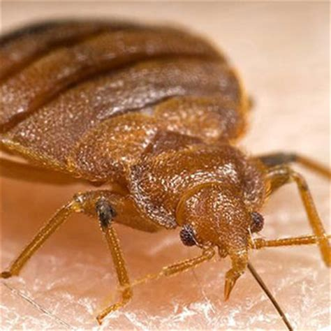 what does a bed bug look like up close how to get rid of bedbug pictures bites treatment signs