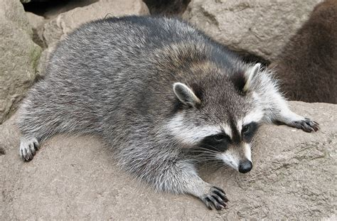 what to do if a raccoon is in your backyard princeton landing news nature guide skunks and raccoons