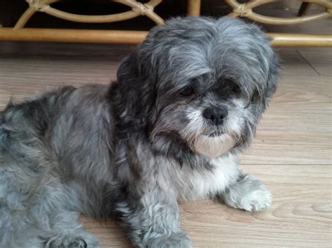 oldest shih tzu 2year shih tzu peterborough cambridgeshire pets4homes