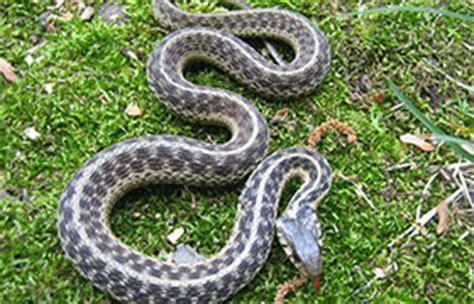 Garden Snake Pa Venomous And Common Snakes Of Pennsylvania