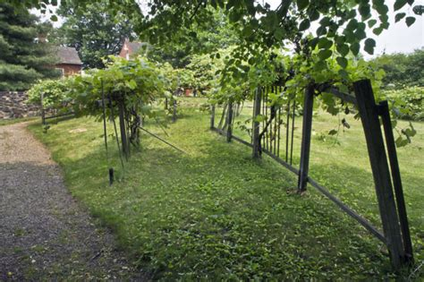 broken wooden trellis supporting a grape vine under a