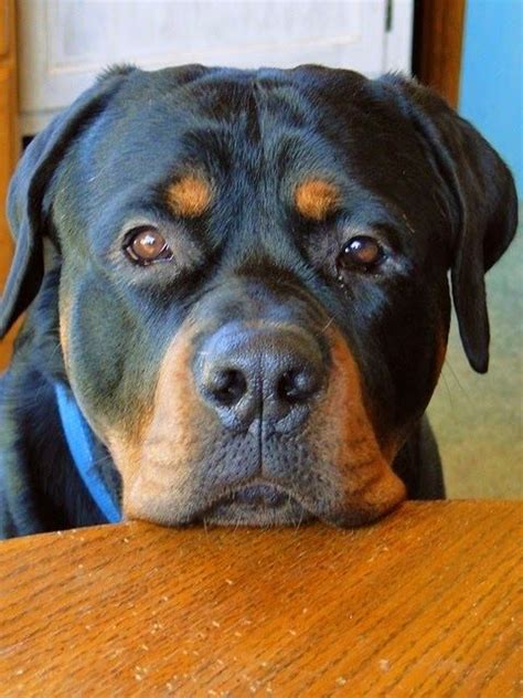 how do rottweilers live for 20 things all rottweiler owners must never forget the last one brought me to tears