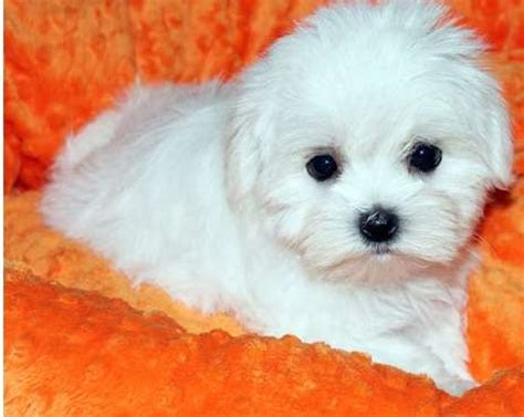House Trained Maltese Puppies For You For Sale Adoption From Penang Bukit Mertajam