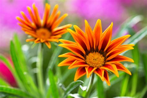 fiori simili alle margherite gazania come coltivare questo fiore colorato simile alla