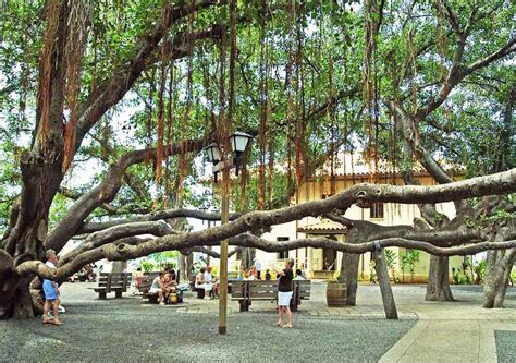 lighting of the banyan tree lahaina maui s history is in the trees valley isle excursions