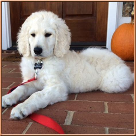 mini goldendoodles for sale in nc mini goldendoodle white 56981 zsource