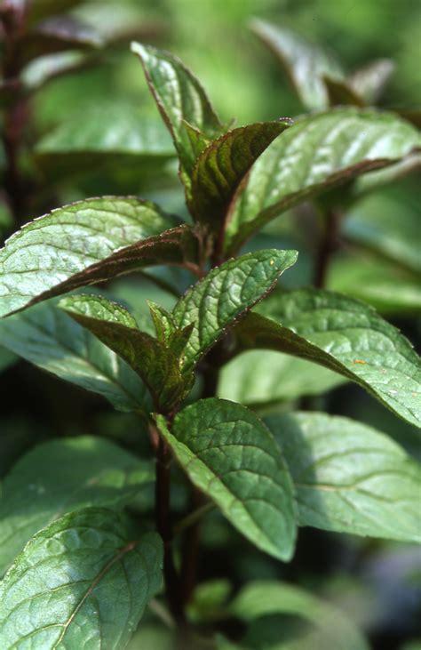 chocolate mint herb farm open days jekka s herb farm