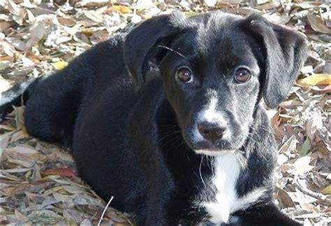spanador puppies spanador breed information and pictures