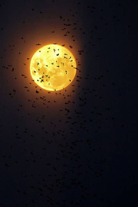 bats   full moon pictures   images