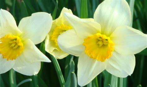 narciso fiore significato narciso nel linguaggio dei fiori