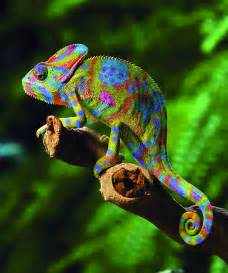 veiled chameleon changing colors chameleon random photographs and chameleon web